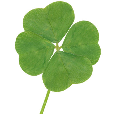 4-leaf clover on white background